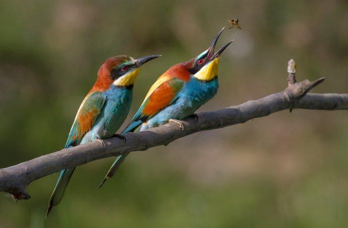 Arı kuşu