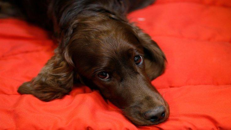 DUVAR - Mamasını yeni yemesine rağmen sanki bir yıldır aç bırakılmış gibi gözünüzün içine bakıyor, 'gerekirse' ağlıyor mu? Yeni yapılan bir deneye göre köpekler, mama söz konusu olduğunda insanlara 'yalan söyleme' ve onları manipüle etme becerisine sahip!