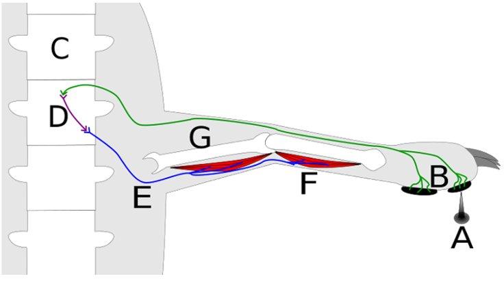 Refleks arkında, sinirler tarafından oluşturulan aksiyon potansiyeli (uyarı sinyali) anlamlandırılmak için beyne gitmez, böylece uyarıya çok daha hızlı yanıt vermek mümkün olur. (A) uyaranına dokunulduğunda uyaranın oluşturduğu sinyal yeşil renkli duyu siniri (B) omurga içindeki omuriliğe (C ) taşınır. Burada kısa bir bağlantı hücresi (D) aracılığı ile mavi renkle gösterilen hareket (motor) sinirine (E) aktarılır. Motor sinir, kaslara sinyal göndererek kasların (F) kasılmasını sağlar ve kaslar aracılığı ile iskelet (G) hareket ederek eli uyarandan uzaklaştırılır.